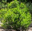 A young Ramona form of Arctostaphylos glauca, Big Berry Manzanita. - grid24_3