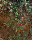 Rhus trilobata, Squaw Bush Sumac with berries hanging down bank.