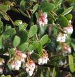 Morro Bay Manzanita, Arctostaphylos morroensis. Even though it grows in Los Osos