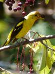 A Bullock's Oriole loves Prunus virginiana melanocarpa, Black chokecherry