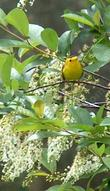 Wilson's Warbler on Prunus virginiana melanocarpa, Black chokecherry