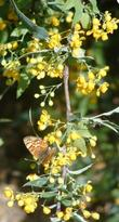 Nevin's barberry with a Checkerspot on it. - grid24_3