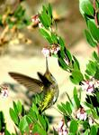 Anna Hummingbird working the flowers of Sentinel manzanitas