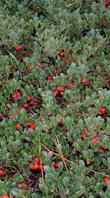 Arctostaphylos uva ursi, Radient Manzanita has great red berries on a flat ground cover.