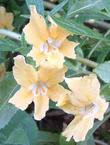 A twenty year old Topanga Monkey flower is sometimes called Mimulus aurantiacus, which is what they call almost all the monkey flowers. It's like everyone is Bob and Mary.