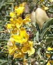 This photo shows the yellow flowers, and beige fruits of Isomeris arborea, Bladderpod, with a colorful stowaway.