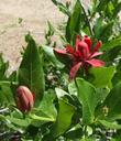 Calycanthus occidentalis, Spice Bush, with a flower bud on the left, and an opened flower on the right area of the photo.