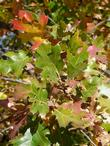 Quercus kelloggii, Kellogg Oak fall color