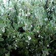 An old picture of Arctostaphylos myrtifolia - grid24_3