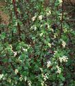 White chaparral currant