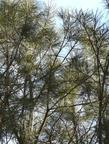 Pinus torreyana, Torrey Pine, a rare pine, grows in the south coastal areas of California.  - grid24_3