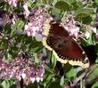 Arctostaphylos Baby Bear Manzanita Bush with a Mourning Cloak Butterfly. Butterflies are one of the pollinators of manzanitas.