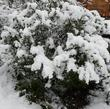Arctostaphylos standfodiana with snow. No damage.