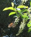 Monarch butterfly on Prunus virginiana melanocarpa, Black chokecherry