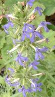 In this photo you can see more detail of the flowers and inflorescence of Lobelia dunnii var. serrata, Dunn's Lobelia.