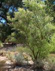 A young tree of Chilopsis linearis, Desert Willow, in the Santa Margarita nursery garden.
