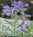 Penstemon speciosus. Showy Penstemon flowers