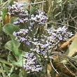 Limonium californicum Western Marsh-Rosemary