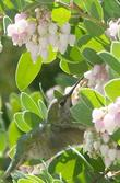 Anna Hummingbird working the flowers of mama bear manzanita