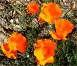 California Poppies are many colors, these are hot orange