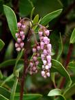 Green leaf manzanita, Arctostaphylos patula flowers are pink in small grape like clusters.