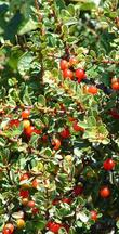 Rhamnus crocea, Redberry - grid24_3