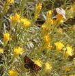A party of three enjoying the nectar and pollen of the flowers of Chrysothamnus nauseosus, Rabbitbrush.