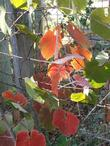 Vitis californica, California Grape with red leaves in fall