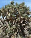 Joshua tree, Yucca brevifolia in it's complex form.