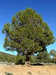 This pretty western Juniper tree was at about 9000 feet in the San Bernardino range.