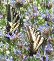 Two Pale Swallowtail Butterflies on one Salvia clevelandii Alpine. This sage has been been a wildlife magnet in the garden.