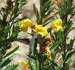 Hummingbirds visit the flowers of Oenothera hookeri, Evening Primrose.