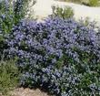 Ceanothus Celestial Blue is a very showy mountain lilac.