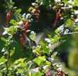 Ribes speciosum, Fuchsia Flowered Gooseberry, is the most popular gooseberry in California.