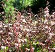 Heuchera hirsutissima, Idyllwild Rock Flower, is here shown massed together, in its natural mountain habitat.  - grid24_3