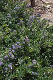 Ceanothus gloriosus Heart's desire makes a great small mounding groundcover. Excellent as a sidewalk border or if up against a wall,as shown here,  foundation plant.