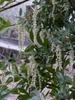 Garrya veatchii Silk Tassel Bush in flower