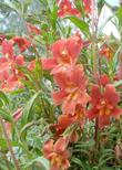 Red Monkey flower on a foggy spring morning