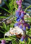 Painted lady Butterfly on Trichostema lanatum, Woolly Blue Curls
