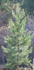 Pinus attenuata x radiata, P. attenuradiata, is a hybrid pine that we are growing out.