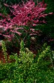 One year in the 1980's the Redbud, Cercis occidentalis and the Golden Currant, Ribes aureum gracilentum flowered exactly right.