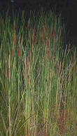Typha domingensis,  Southern Cat-Tail in a flash