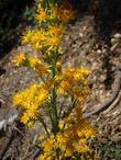 Solidago confinis Yellow Butterfly Weed