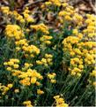 Old photo of Eriogonum umbellatum, Sulfur Flower