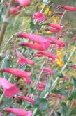 Penstemon X parishii, Parish's Penstemon is a hot pink