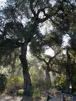 Quercus agrifolia, Coast Live Oak in the fog.