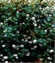 An old picture of Ceanothus griseus