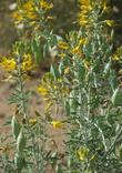 Isomeris arborea, Bladderpod, with its pretty yellow flowers, and strange-shaped fruits, sticks out in a garden, and is at its optimum, in dry, sunny, winter-cool, summer-hot  areas.