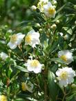Carpenteria californica, Bush anemone with flowers