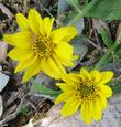 Wyethia angustifolia, Narrowleaf Mule Ears flowers. - grid24_3